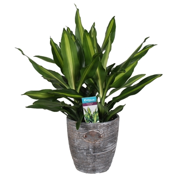 Dracaena Fragrans Cintho Robuuste pot