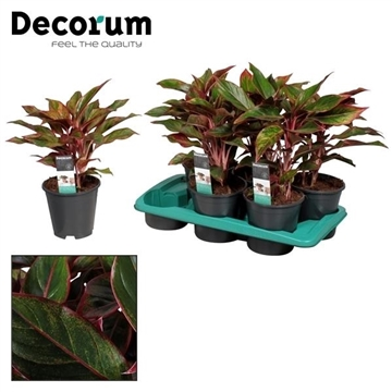 Aglaonema Crete (Decorum)