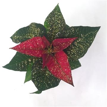 Euph. Poinsettia RED w/Gold Glitter (6CM) A1