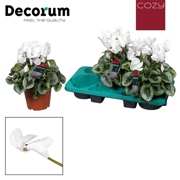 Cyclamen Halios Decora white
