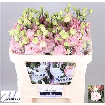 Lisianthus Alissa light pink