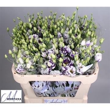 Lisianthus Fleurelisa blue