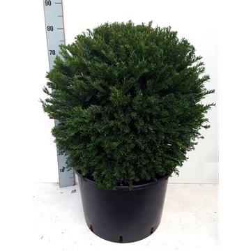 Taxus baccata BOL - Ø60 cm