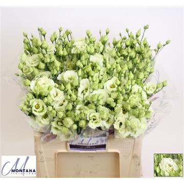 Lisianthus Alissa green 60 cm