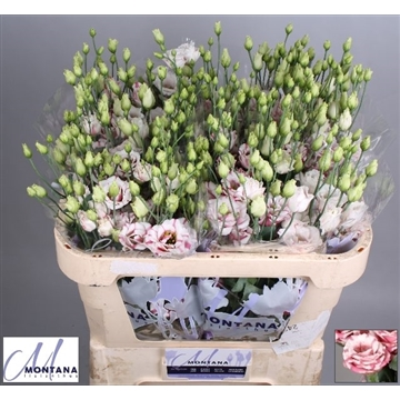 Lisianthus Fleurelisa pink