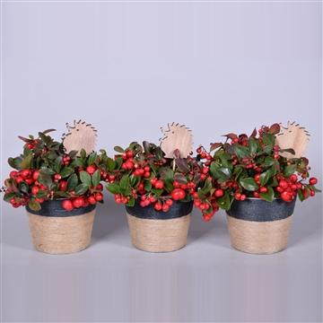 Gaultheria Big Berry in pot Sofia zink, met jute touw, met herfst bijsteker, P13
