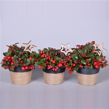 Gaultheria Big Berry in pot Sofia zink, met jute touw, met kerst bijsteker, P13