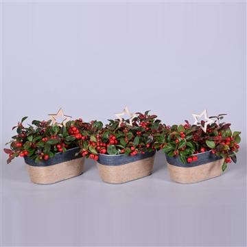 Gaultheria Big Berry in duopot Sofia zink, met jute touw, met kerst bijsteker, P13