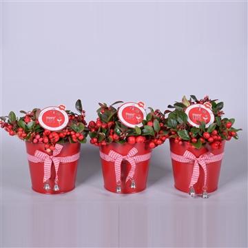 MoreLIPS® Gaultheria Big Berry, in rood zink met strik, P13