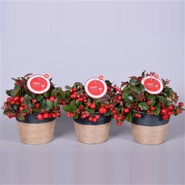 MoreLIPS® Gaultheria Big Berry, in pot Sofia zink, met jute touw, P13