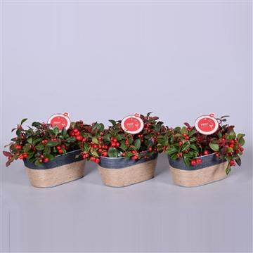 MoreLIPS® Gaultheria Big Berry, in duopot Sofia, zink met jute touw, P13