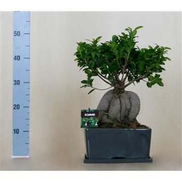 Ficus micr. ginseng in keramiek rechthoekige schaal + schotel grijs