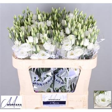 Lisianthus Rosita white