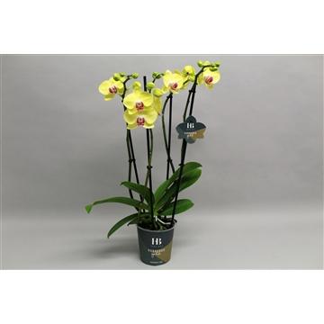 Phalaenopsis geel 4 tak Georgeous Gold