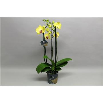 Phalaenopsis Geel 3 tak Georgeous Gold
