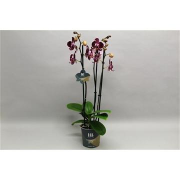 Phalaenopsis Asian Pearl 3 tak Georgeous Gold