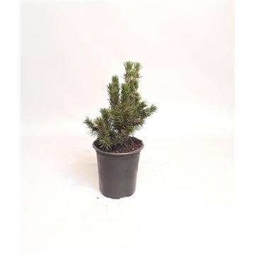 Picea abies Conica 14-18 cm