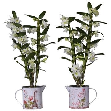 Dendrobium nobile Apollon 2 stam + gieter met print