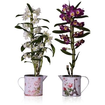 Dendrobium nobile Mix 1 stam + gieter met print