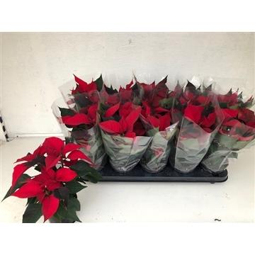 Poinsettia Christmas Feelings Red (Rood)