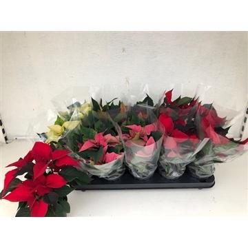 Poinsettia Christmas Feelings (Mix)