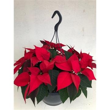 Poinsettia Christmas Feelings basket rood