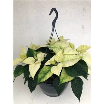 Poinsettia Christmas Feelings basket wit