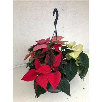 Poinsettia Christmas Feelings basket mix