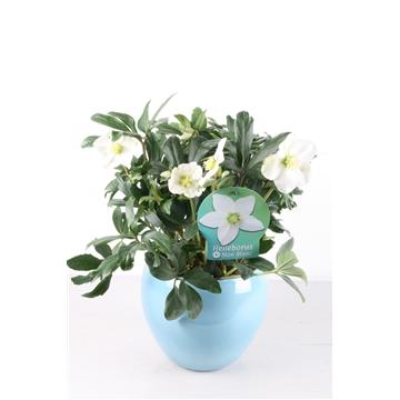 Helleborus p17 Mon Blanc in ijsblauwe keramiek pot dia 22 h 15 Kerst - Winter  / op bestelling 3 dagen