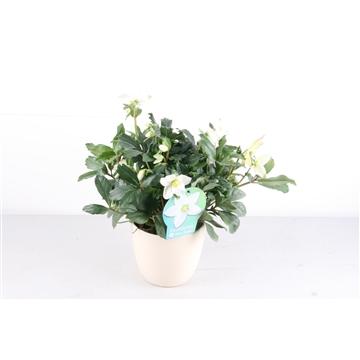 Helleborus p17 Mon Blanc wit in ecru keramiek pot Kerst - winter / op bestelling 3 dagen