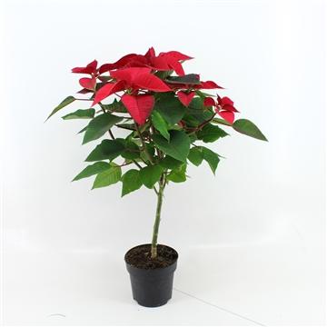 VDH Poinsettia Stam P17