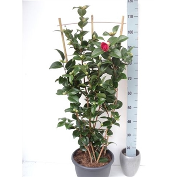 Camellia japonica Bob Hope rood