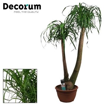 Beaucarnea 2 Arm 35 cm (Decorum)
