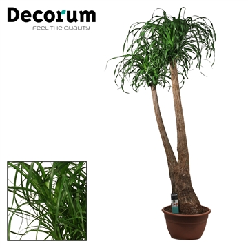 Beaucarnea 2 Arm 40 cm (Decorum)