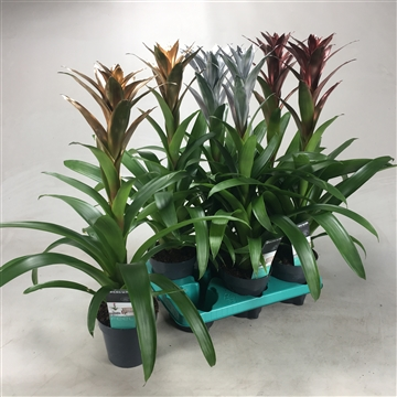 Guzmania Mix Gold/Silver/Bronze