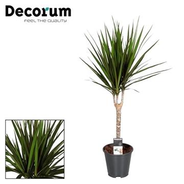 Drac Marginata 30 cm stam (Decorum)