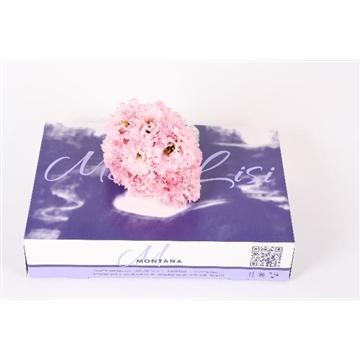 Lisianthus mono lisi Alissa rosée