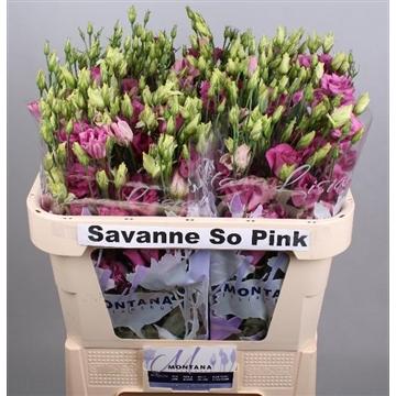 Lisianthus Savanne so pink 70 cm