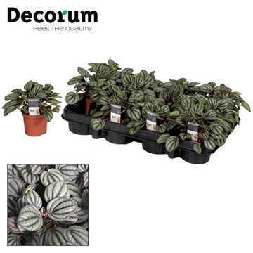 Peperomia Banda (Decorum)