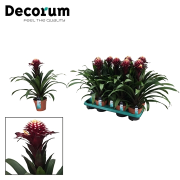 Guzmania Francesca (Decorum)