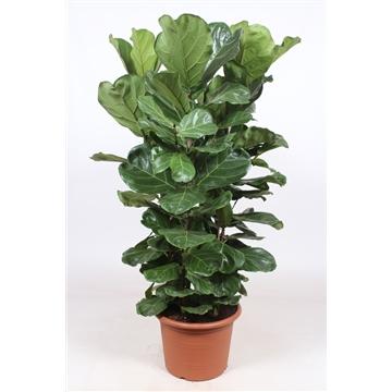 Ficus Lyrata 4 per pot