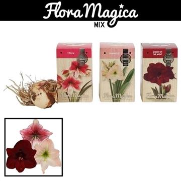 Hippeastrum 28/30 Exclusieve Soorten in Gift Box Brilliant