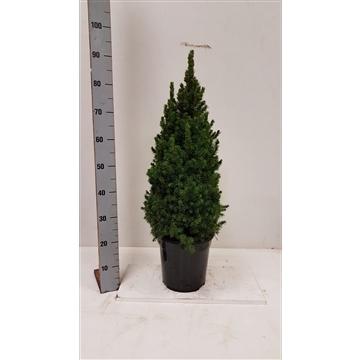 Picea Glauca Conica piramide plantmaat 70+ potgedrukt