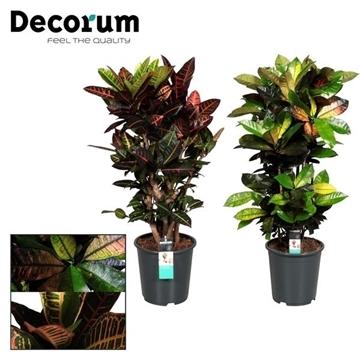 Croton vertakt gemengd (Decorum)