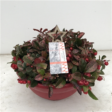 Gaultheria Big Berry in schaal, mix v glitter, P27