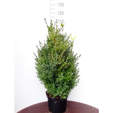 Buxus sempervirens, plantmaat 80-100