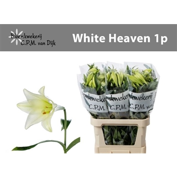 White Heaven 1 pitters