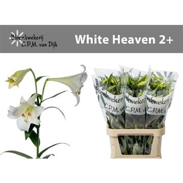 Li LO White Heaven 2+