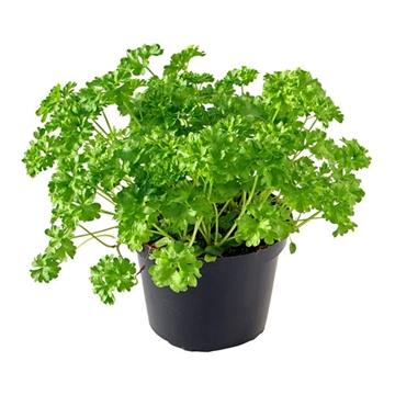 Herbachef BIO kruiden Coriandrum sativum