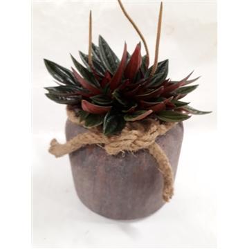 RDP16ROS Dark Rude Pot Peperomia Rosso
